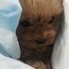 泰迪和金毛的幼犬,超可爱