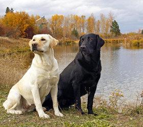 拉布拉多犬|拉布拉多,拉不拉多,拉拉,拉布拉多寻回犬
