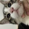 中华田园猫 五个月 公猫