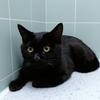 一岁纯黑色蓝猫免费领养