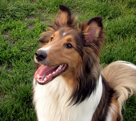 喜乐蒂牧羊犬|喜乐蒂,设得兰群岛牧羊犬