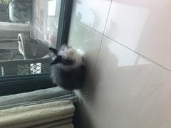 :道奇猫猫兔,母,8个月。求领养