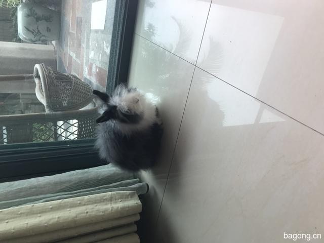 道奇猫猫兔,母,8个月。求领养