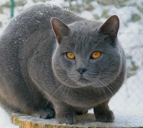 卡尔特猫|夏特尔猫|沙特尔猫|传教士蓝猫