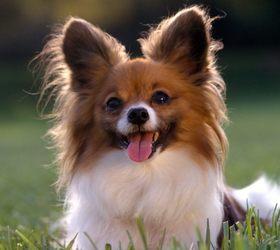蝴蝶犬|蝶耳犬,松鼠猎鹬犬,蝴蝶