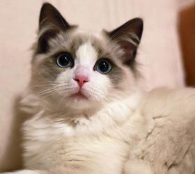 布偶猫|布娃娃猫|玩偶猫|布...