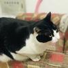 可爱奶牛花色公猫找个好人家
