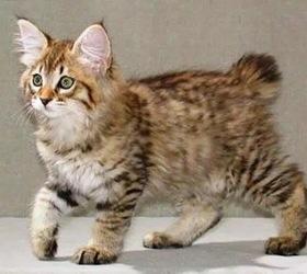 美国短尾猫|美短尾,虎斑