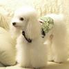 标准贵宾犬1