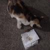 很亲人的一只流浪猫,我家已经有好几只了实在养不了了。毛很软不咬人