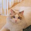 布偶猫领养
