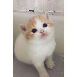 告诉大家我家英短猫猫生了四只可爱小猫咪,爱猫人士来领养
