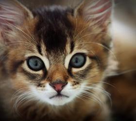 索马里猫|长毛阿比|索马利猫