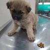 有一只小土狗 一个月半 很可爱乖巧粘人 求抱走!