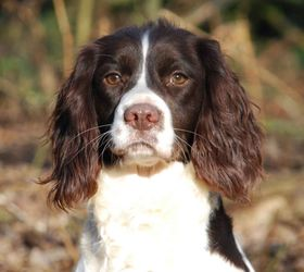 英国跳猎犬|史宾格猎犬