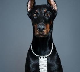 杜宾犬|多伯曼犬,笃宾犬,德国杜宾