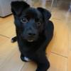 黑色中华田园犬找主人