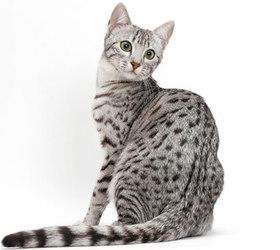 埃及猫|法老王猫|埃及神猫
