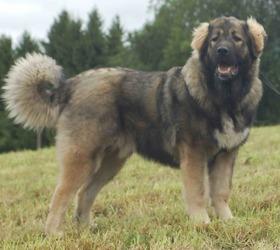 高加索犬|奥特卡犬,高加索牧羊犬