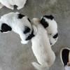 【广东深圳】家里狗妈妈生的小狗狗可以抱养了,求新主人带走