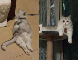 本人的猫咪,名叫猪蹄,已绝育的...
