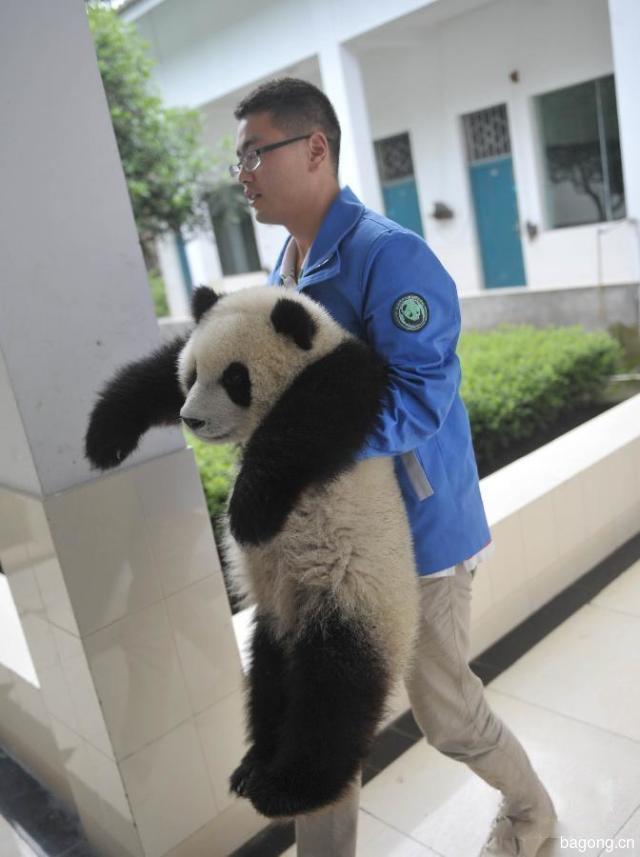 世界上最容易被抱大腿的工作:熊猫驯养师。23