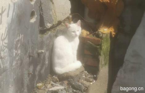 一只纯白 耳朵尖粉的山东狮子猫0