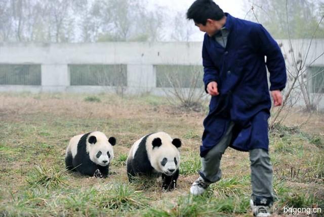 世界上最容易被抱大腿的工作:熊猫驯养师。18
