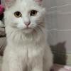 我有一只长毛白色狮子猫要送给你