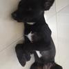 我有一只中华田园犬 想找个好人家收养
