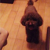14年6月17日早,,丢失我家爱犬泰迪一只 名叫遥遥