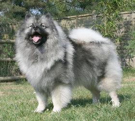 荷兰毛狮犬|荷兰狮毛犬