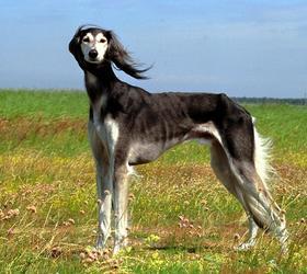 萨路基猎犬|阿拉伯猎犬,猎羚犬