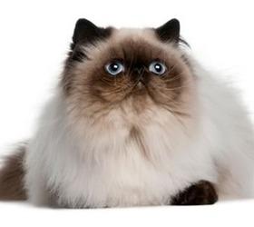 喜玛拉雅猫|重点色波斯猫|彩色斑点长毛猫