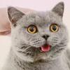 英国短毛猫:冬梅