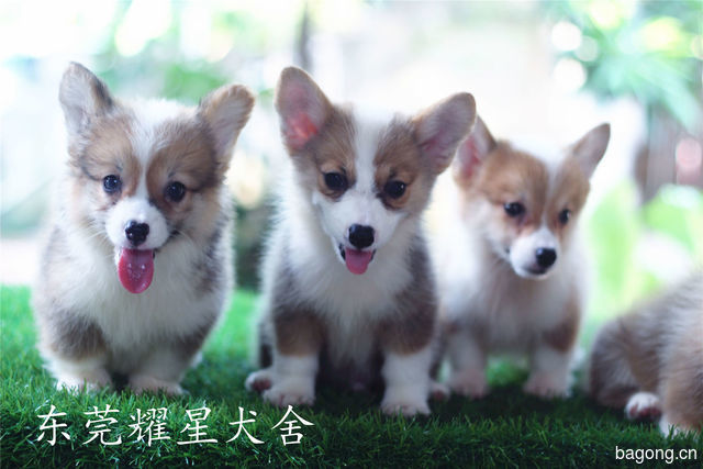 耀星犬舍的柯基宝宝,我们来自广东东莞