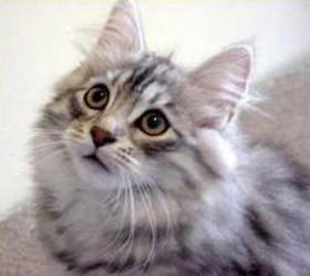 西伯利亚猫|西伯利亚森林猫