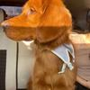 一只橙色小金毛需要领养!
