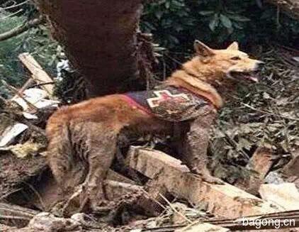 差点被安乐死的小宠物们  在人类遇到危难时刻  却变成英雄8