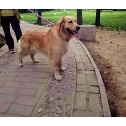 寻狗启示:金毛犬,3岁,母的,...