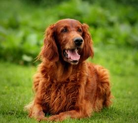 爱尔兰雪达犬|爱尔兰塞特犬,爱尔兰蹲猎犬