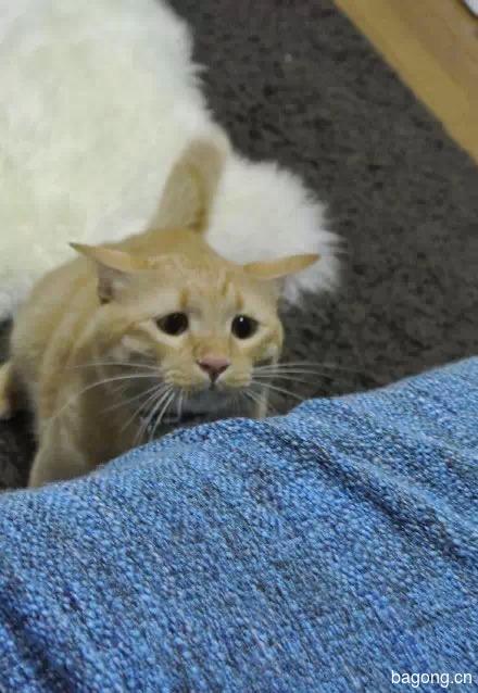 哈哈,这只猫一用逗猫棒  瞬间变身梁朝伟9