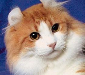 美国卷耳猫|美国反耳猫,美卷耳