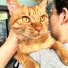 贝宝,8个月,漂亮金色的橘猫,寻找铲屎官