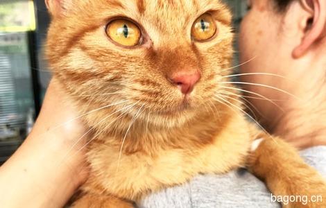 贝宝,8个月,漂亮金色的橘猫,寻找铲屎官0