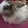 一岁半的长毛兔兔(免费无偿领养,附带宝贝的生活用品)