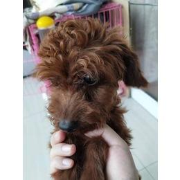 上海 3斤多1岁泰迪找家人领养