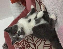 英短猫,蓝白,公猫,眉心有块白...