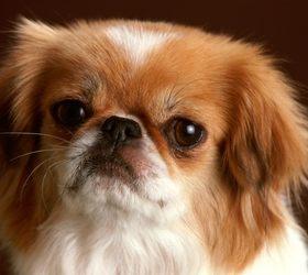 北京犬|京吧,京巴,京吧犬