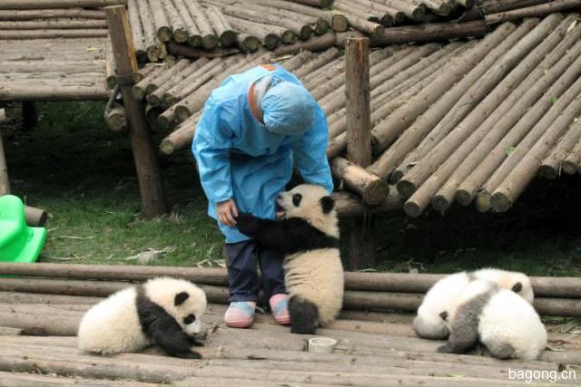 世界上最容易被抱大腿的工作:熊猫驯养师。20